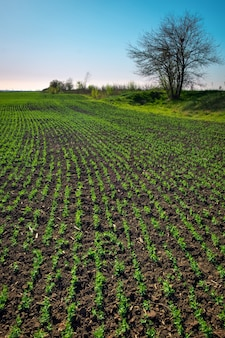 В почве всходы зеленого гороха. овощной горох в поле. цветущие бобовые. культивирование. красивый пейзаж