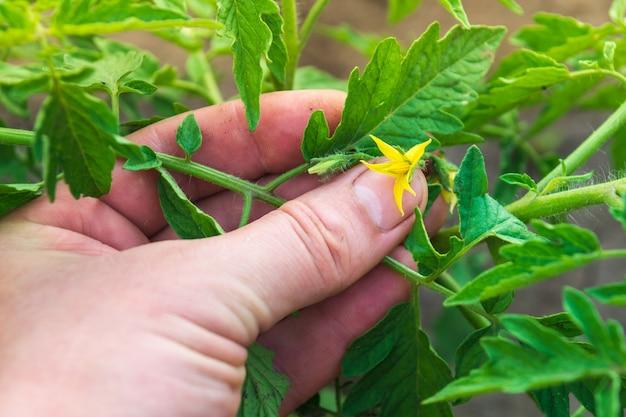 여름에 농부는 개화 기간 동안 토마토 묘목의 질병이나 해충을 확인합니다