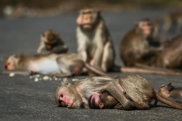 冬になると、サルは太陽から暖かくなり、田舎道に出てきます。