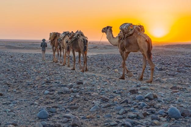 エチオピアのダナキル大恐inでアファール人に導かれて塩を運ぶヒトコブラクダのキャラバン