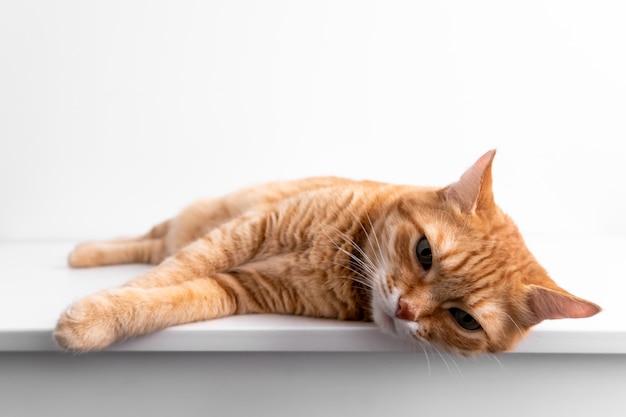 白いテーブルの上に横たわると、カメラで平和的に見ている生in猫。緑色の目でかわいい猫。獣医で。患者ペット