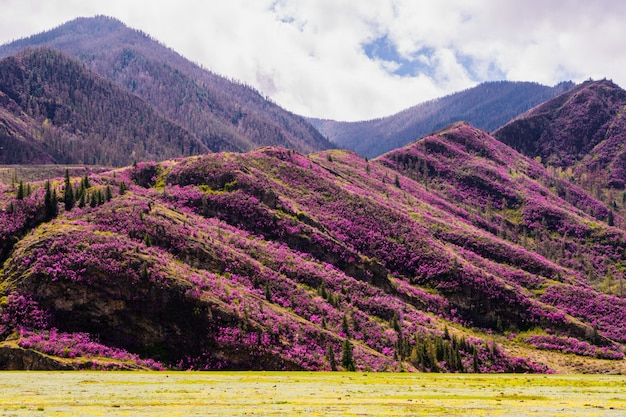 Incredible view of altai valley with hills covered with purple flowers of maralnik