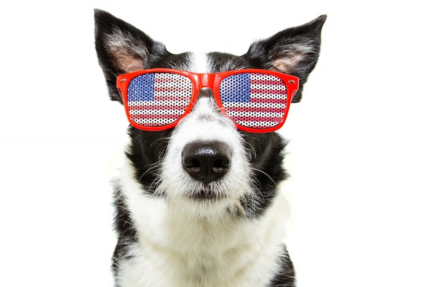 Independence day 4th of july border collie dog. isolated.