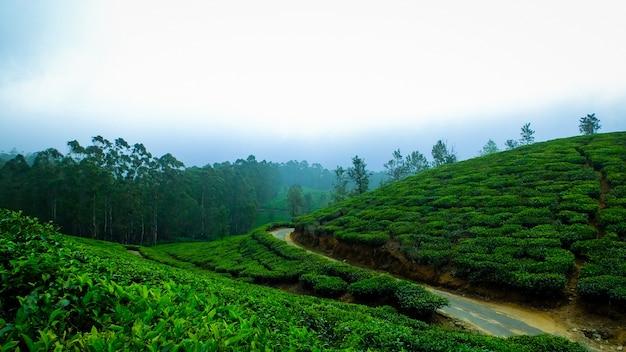 Foglie fredde del tè della nebbia dell'india
