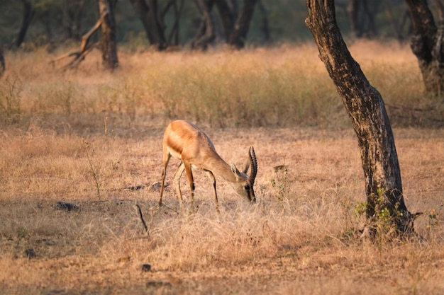 Indian bennetti gazelle or chinkara in rathnambore national park, rajasthan, india