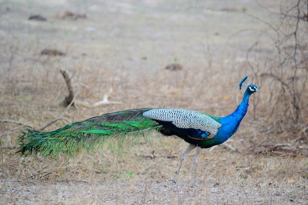 Indian blue peacock in yala national park, south-east sri lanka