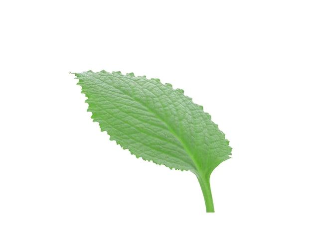 インドのボラージの葉は白い背景で隔離