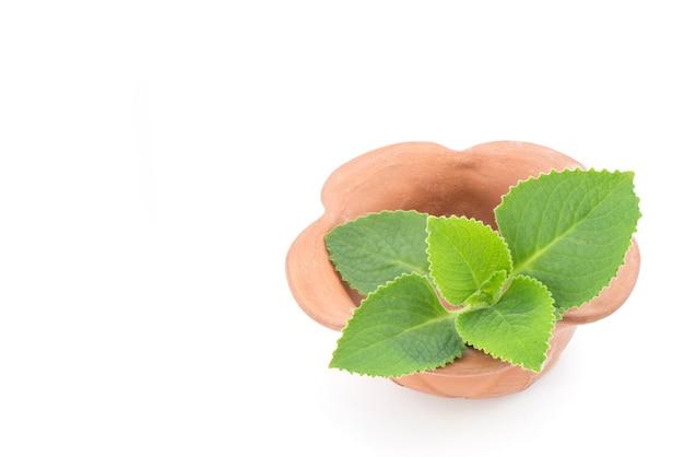 インドのボラージ、オレガノまたはplectranthusamboinicusの枝の緑の葉が白で分離されました。
