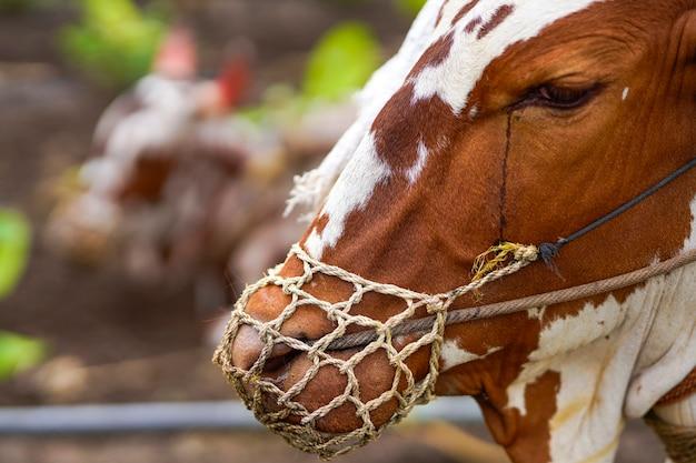 Индийский бык, работающий в области сельского хозяйства