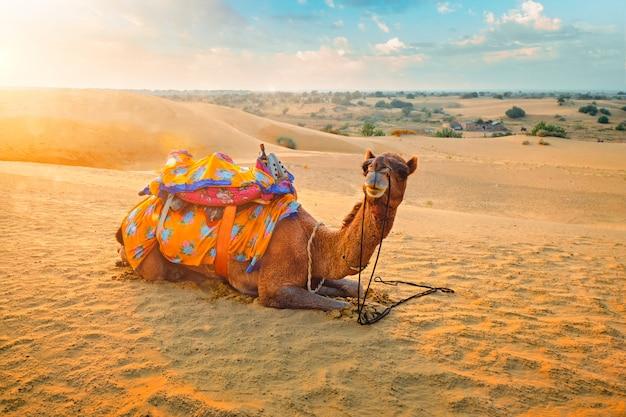 日没でタール砂漠の砂丘でインドのラクダ。ジャイサルメール、ラージャスターン州、インド