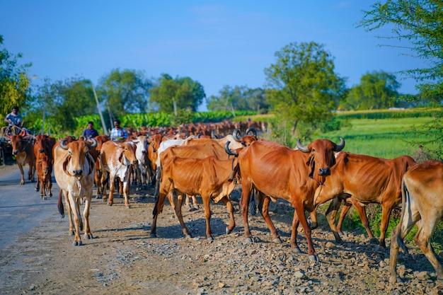 インドの牛屋外