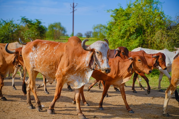 Indian cattle outdoors