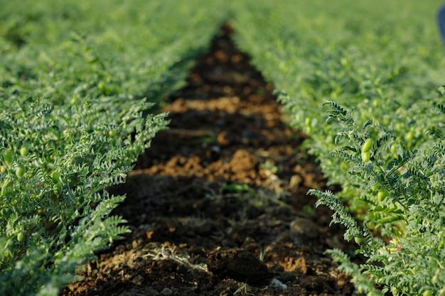 インドのひよこ豆畑、インドの農業