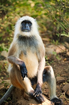 Indian common gray langur or hanuman langur monkey eating in ranthambore national park, rajasthan, india