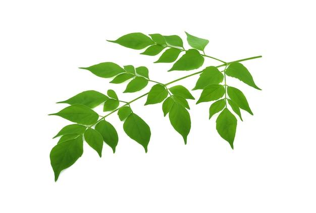 인도 코르크 잎 (millingtonia hortensis).