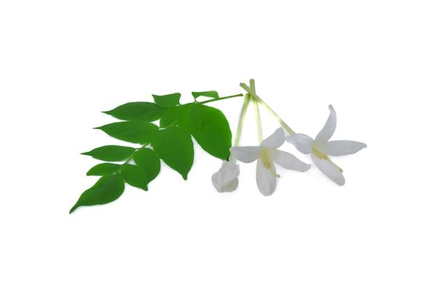 인도 코르크 나무 꽃 절연입니다.