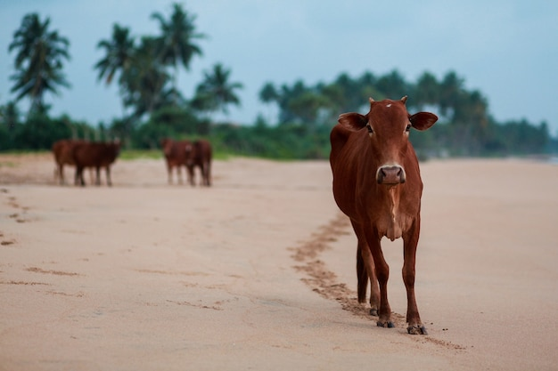 Indian cow on the beach.