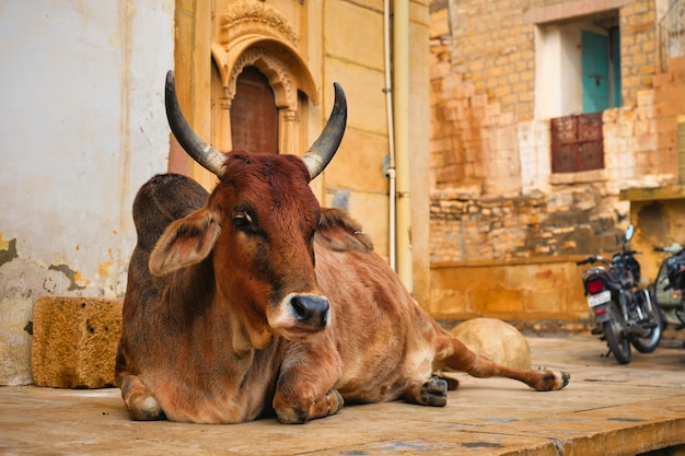 Indian cow resting in the street