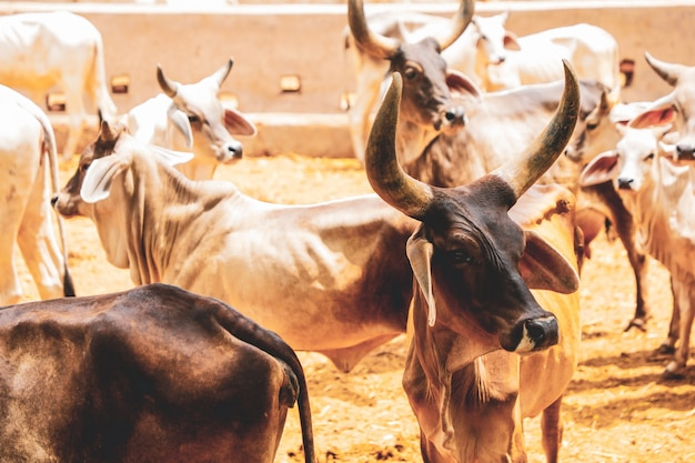 Indian dairy farming, indian cattle