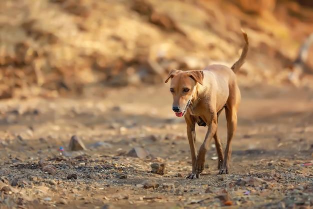 通りで食べ物を探しているインドの犬
