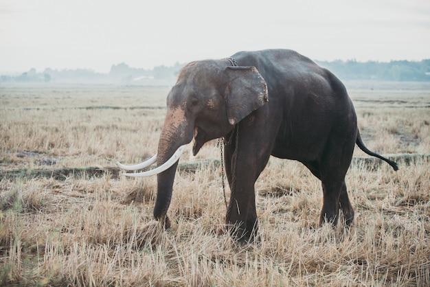 Индийский слон занят в сельском хозяйстве