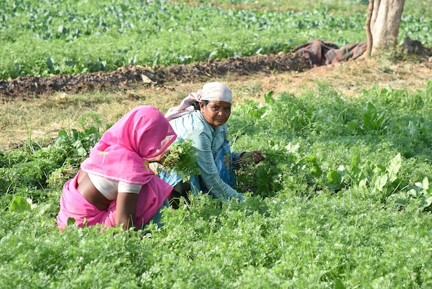 Indian farm worker harvesting green coriander and holding bunch in hands at the organic farm.