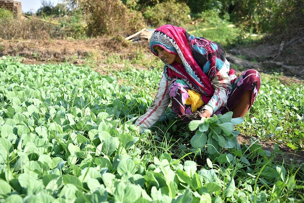 인도 농장 노동자 필드에 양배추를 심고 유기 농장에서 손에 양배추의 작은 식물의 무리를 들고.