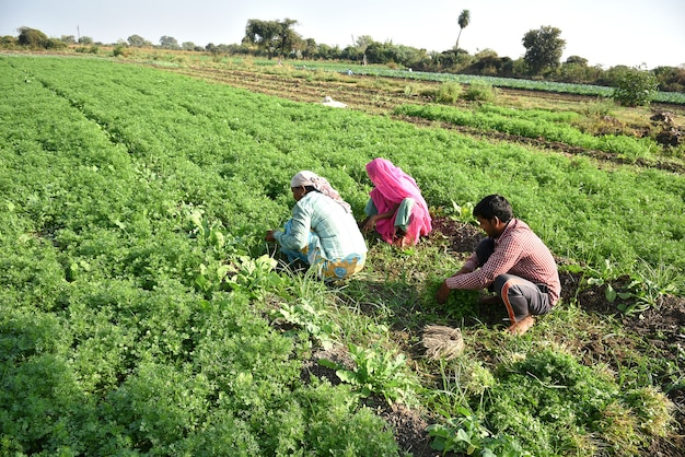Indian farm workers harvesting green coriander and holding bunch in hands at the organic farm.