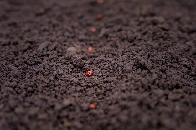 Indian farmer planting lentil seed