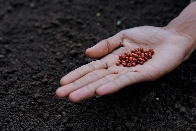 인도 농부 심기 렌즈 콩 씨앗
