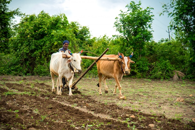 그의 농장, 인도 농업 현장에서 황소와 함께 전통적인 방식으로 작업하는 인도 농부.
