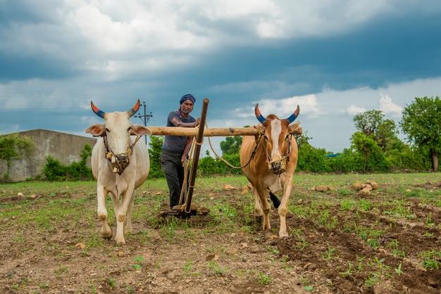 彼の農場で牛と伝統的な方法で働いているインドの農民、インドの農業シーン。