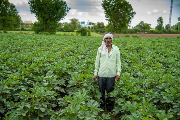 Indian farmer working in okra plant or ladyfinger farm field.