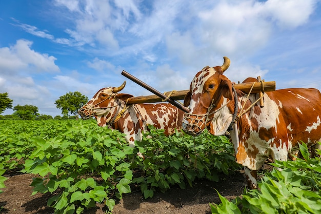 彼の綿畑で雄牛を扱うインドの農夫