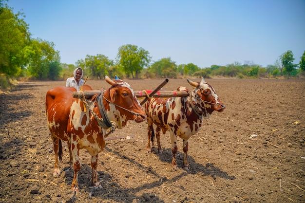 彼の農場で雄牛を扱うインドの農夫