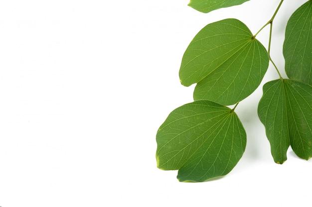 Indian festival dussehra, showing golden leaf, piliostigma racemosum,,