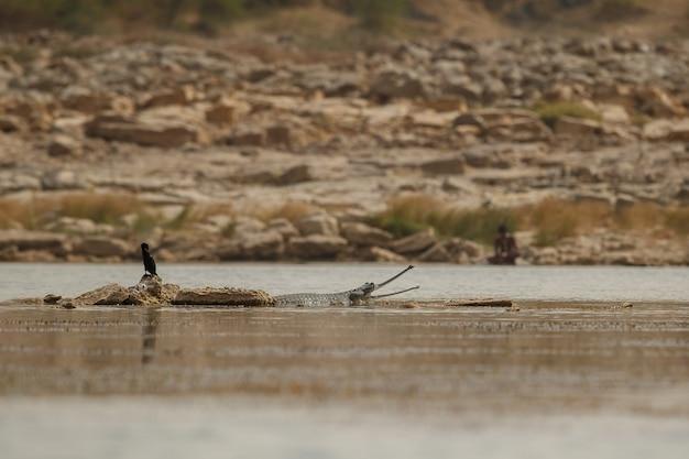 Индийский гавиал в естественной среде обитания заповедник реки чамбал