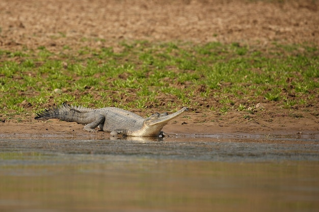 Indian gavial in the nature habitat chambal river sanctuary