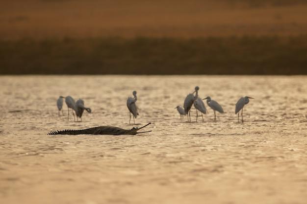 Gaviale indiano nel santuario del fiume chambal dell'habitat naturale