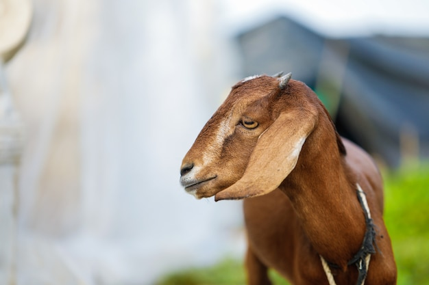 Indian goat at field , rural india.