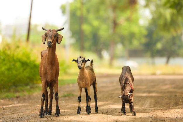 通り、田舎のインドのインドのヤギ。