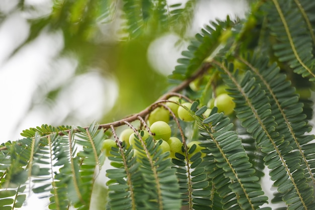 Indian gooseberries or amla fruit on tree with green leaf phyllanthus emblica traditional indian