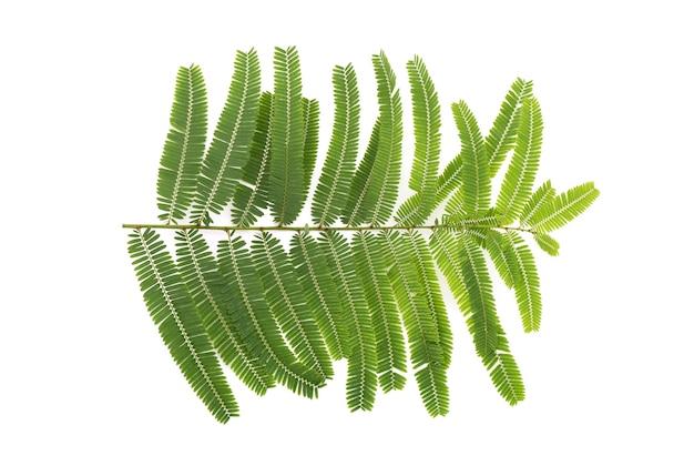 Индийский крыжовник или phyllanthus emblica ветви зеленые листья, изолированные на белом фоне. вид сверху, плоская планировка.
