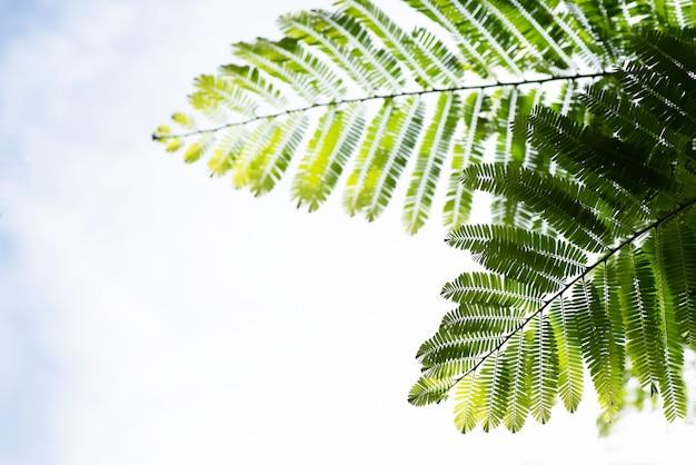 Индийский крыжовник или phyllanthus emblica ветви зеленые листья на фоне неба.