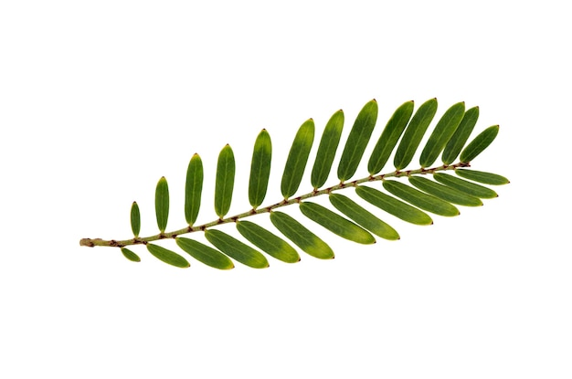 Indian gooseberry or phyllanthus emblica green leaves isolated on white with clipping path.