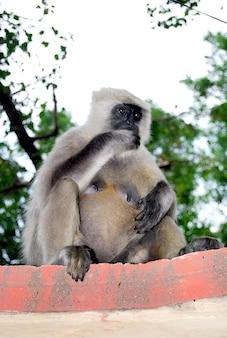 壁に座っているインドの灰色のハヌマンラングール猿