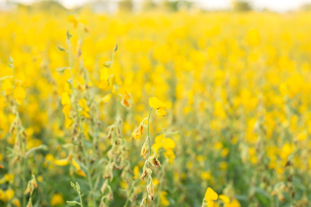 Indian hemp field. yellow flower.