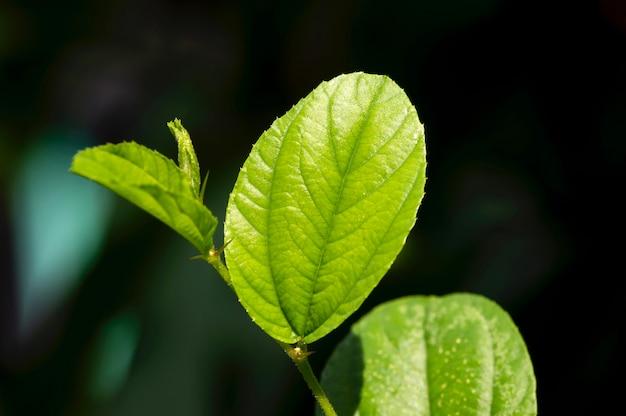 Индийский мармелад листья крупным планом на темном фоне