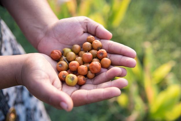 필드에서 손에 인도 대추 또는 ber 또는 베리 (ziziphus mauritiana)