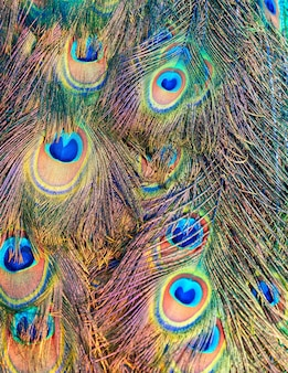Indian male peacock feathers in closeup.